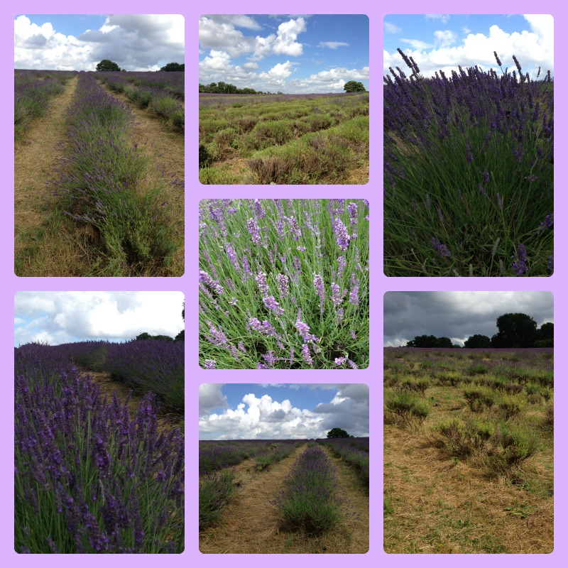 Mayfield lavender 2