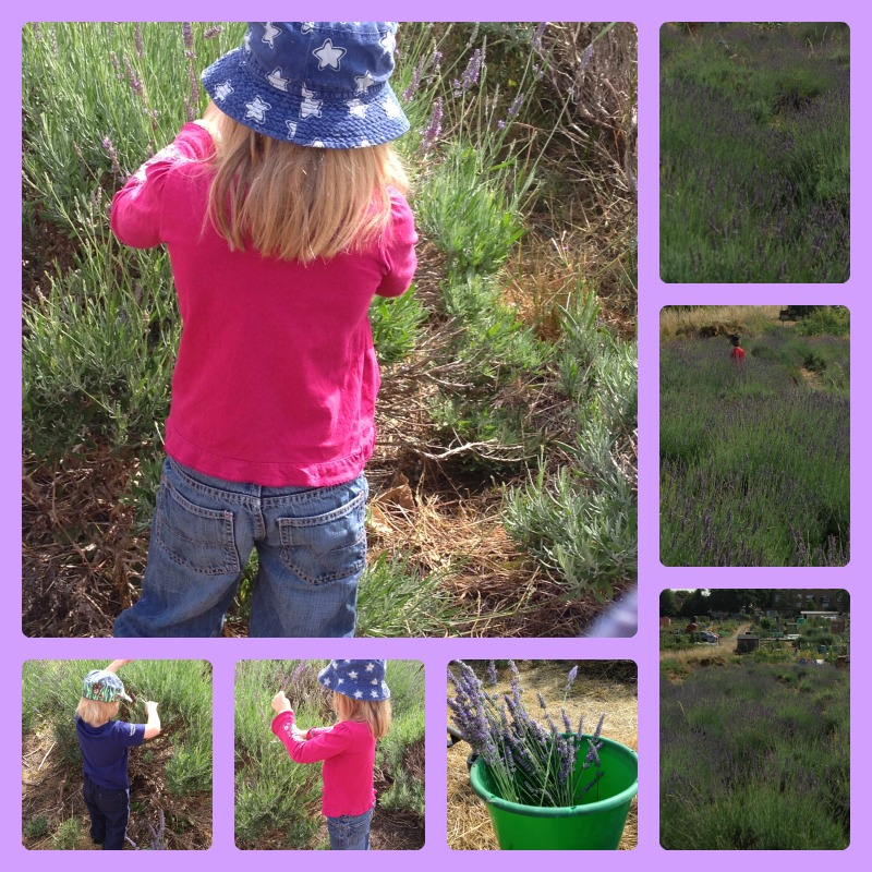 lavender picking 1