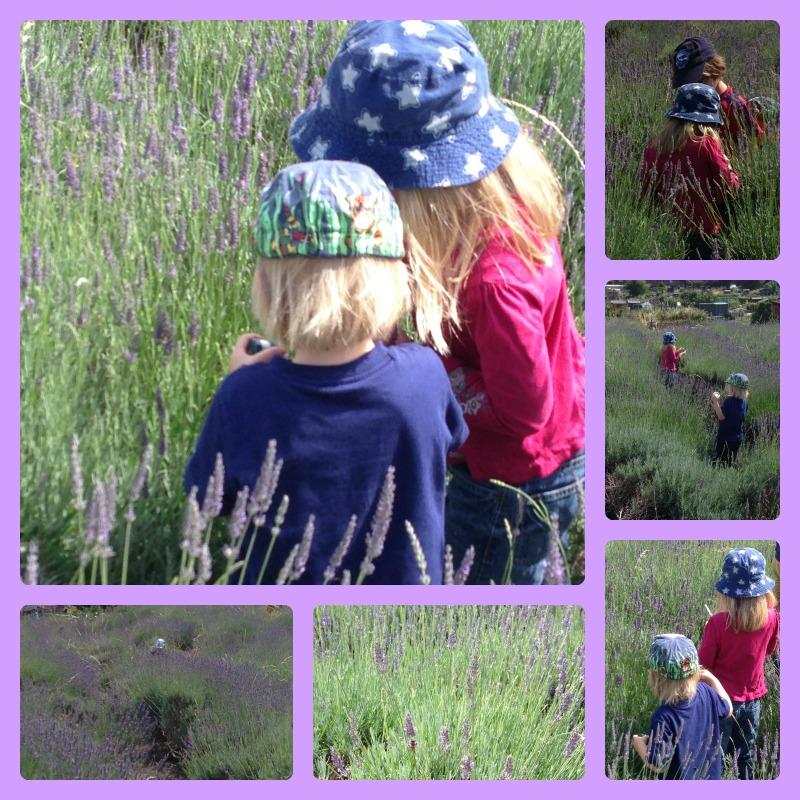 lavender picking 2
