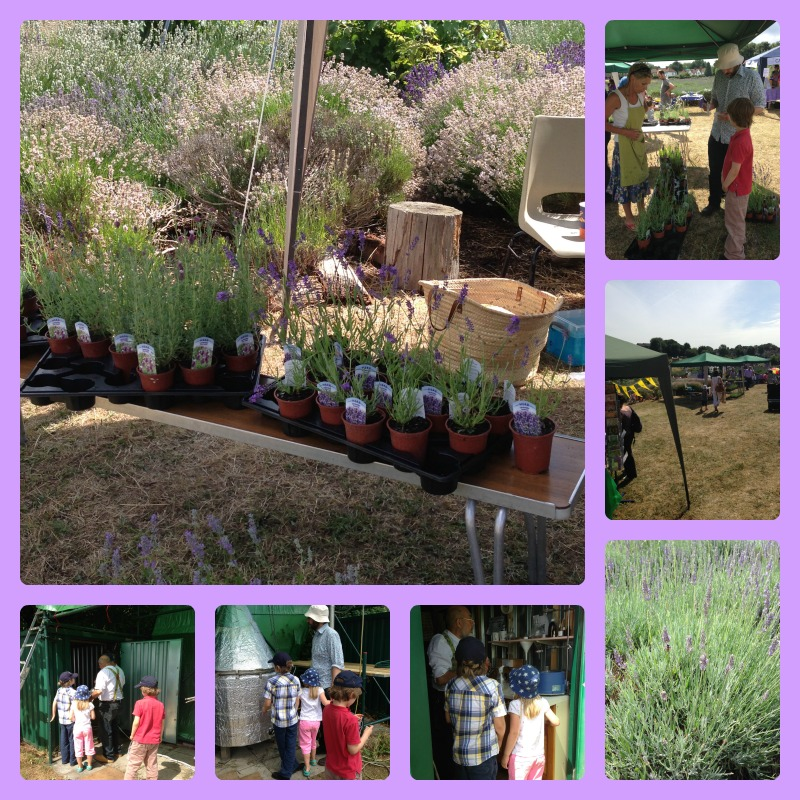 lavender picking 4