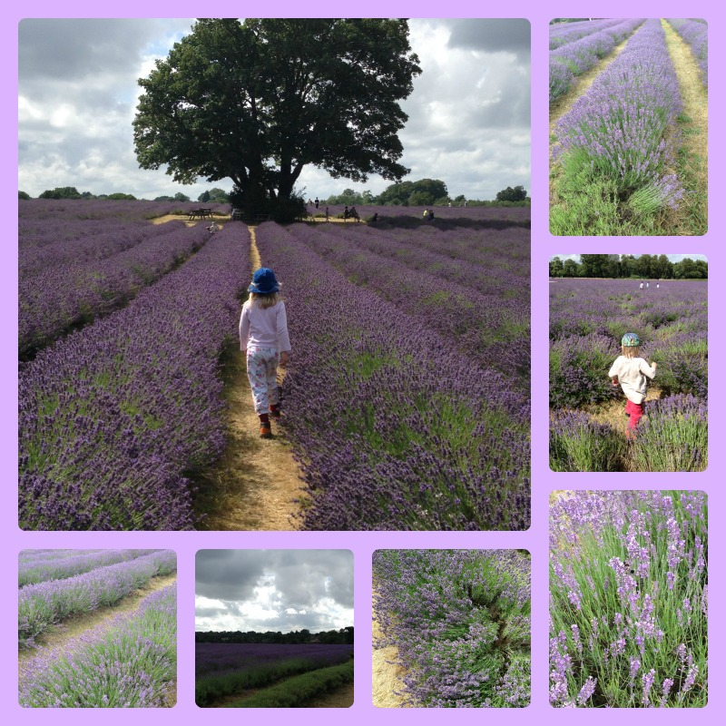 mayfield lavender 1