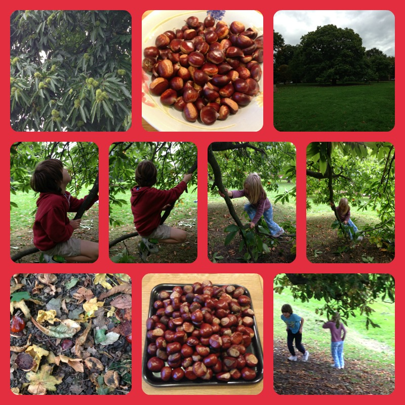 chestnut picking and conker collecting